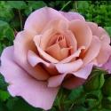 Picture of Lavender Pinocchio-Rose