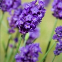 Picture of Lavender Poppet