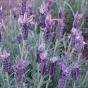 Picture of Lavender Sensation Purple