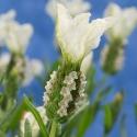 Picture of Lavender Sensation White