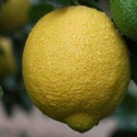 Picture of Lemon Golden Gift