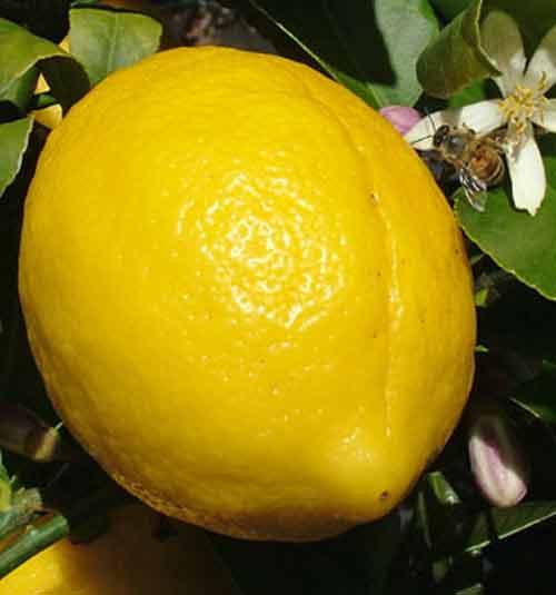 Picture of Lemon Meyer Dwarf