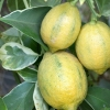 Picture of Lemon Villa Franca Variegated