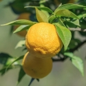 Picture of Lemon Yuzu
