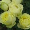 Picture of Lemon n Lime Std 80cm-Rose