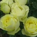 Picture of Lemon n Lime-Rose