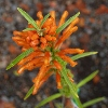 Picture of Leonotis Leonurus