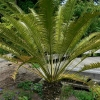Picture of Lepidozamia Perroffskyana