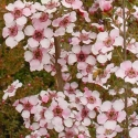 Picture of Leptospermum Andromeda