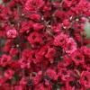 Picture of Leptospermum Burgundy Queen