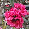 Picture of Leptospermum Crimson Glory