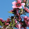 Picture of Leptospermum Keatleyii