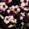 Picture of Leptospermum Magellan