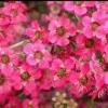 Picture of Leptospermum Merinda