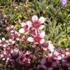 Picture of Leptospermum Nanum Elizabeth Jane