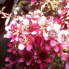 Picture of Leptospermum Nanum Kiwi