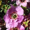 Picture of Leptospermum Phoenix