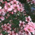 Picture of Leptospermum Pink Cascade STD