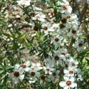 Picture of Leptospermum Scoparium