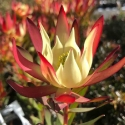 Picture of Leucadendron Amy