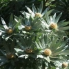 Picture of Leucadendron Argenteum