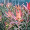 Picture of Leucadendron Blush of Dawn