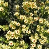 Picture of Leucadendron Cloudbank Ginny