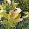 Picture of Leucadendron Golden Tulip