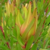 Picture of Leucadendron Inca Gold