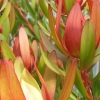 Picture of Leucadendron Loving Memory