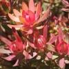 Picture of Leucadendron Safari Sunshine