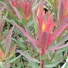 Picture of Leucadendron Stelligerum Red