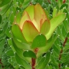Picture of Leucadendron Waterlily