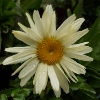 Picture of Leucanthemum Banana Cream