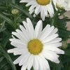 Picture of Leucanthemum Daisy May
