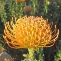 Picture of Leucospermum Ayoba Orange
