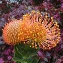 Picture of Leucospermum Cordifolium Orange