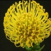 Picture of Leucospermum High Gold