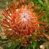 Picture of Leucospermum Tango