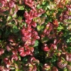 Picture of Leucothoe Curly Red