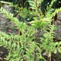 Picture of Libocedrus Plumosa
