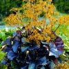 Picture of Ligularia Britt Marie Crawford