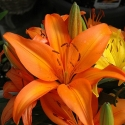 Picture of Lilium Asiatic Orange Matrix