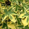 Picture of Liquidambar Golden Treasure