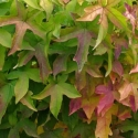Picture of Liquidambar Gumball