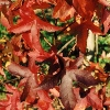 Picture of Liquidambar Lane Roberts