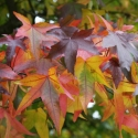 Picture of Liquidambar Palo Alto