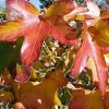 Picture of Liquidambar Rotundiloba