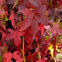 Picture of Liquidambar Summer Storm