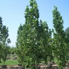 Picture of Liriodendron Arnold